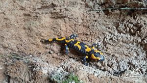 Salamandra Plamista.